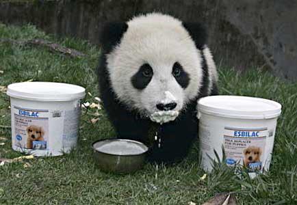 Panda Drinking Milk