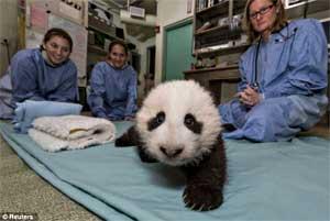 Bai Yun's cub takes his first steps