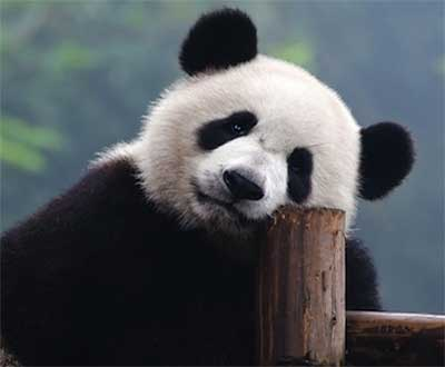 Why We Get So Excited about Giant Pandas