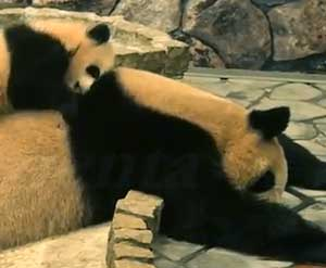 Exhausted Mom Panda