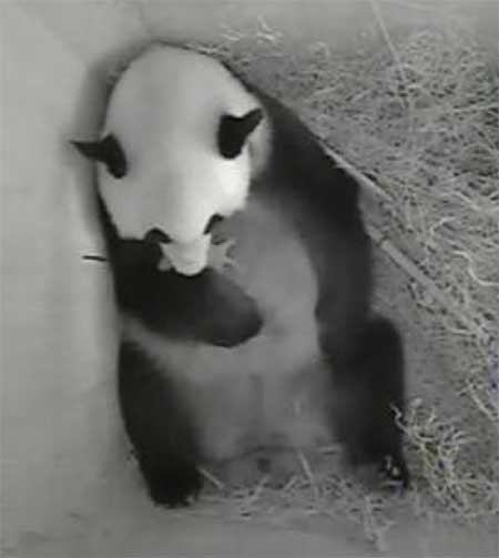 Yang Yang and her new cub in Vienna