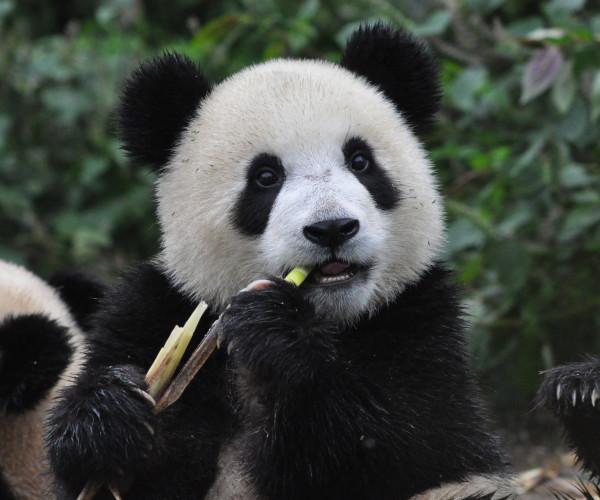 Panda cub at bifengxia 2011