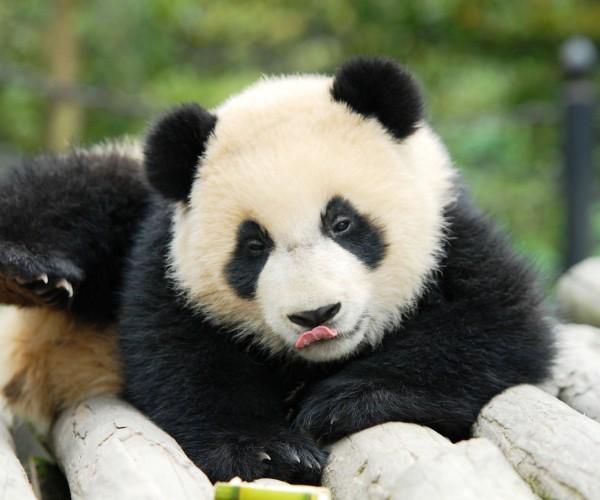 Shen Bin- Ying Ying's 09 Cub
