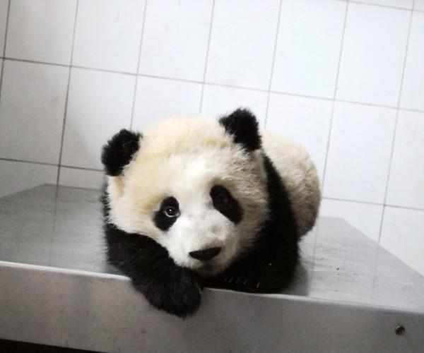 Shui Xiu's 2nd Cub- 2