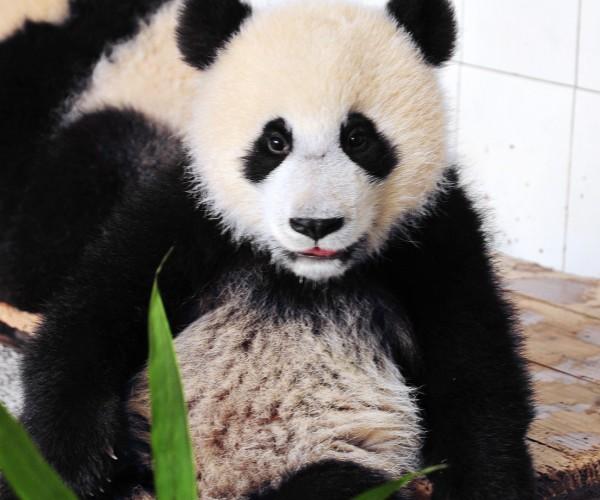 Shui Xiu's 2nd Cub