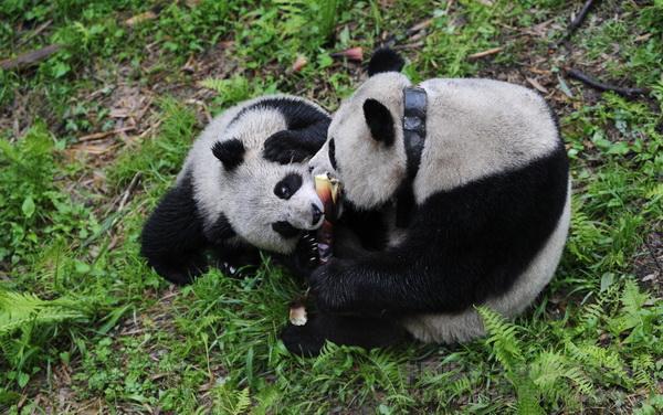 Tao Tao and Cao Cao May 2012