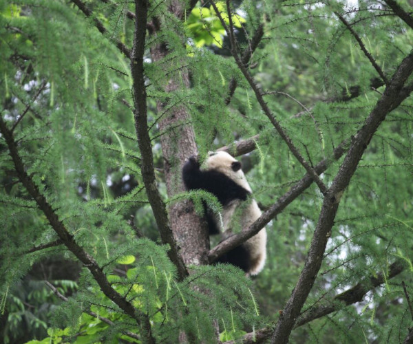 TaoTao high in tree