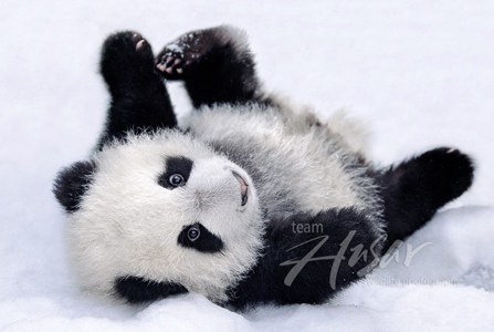 Selective image with printable panda pictures