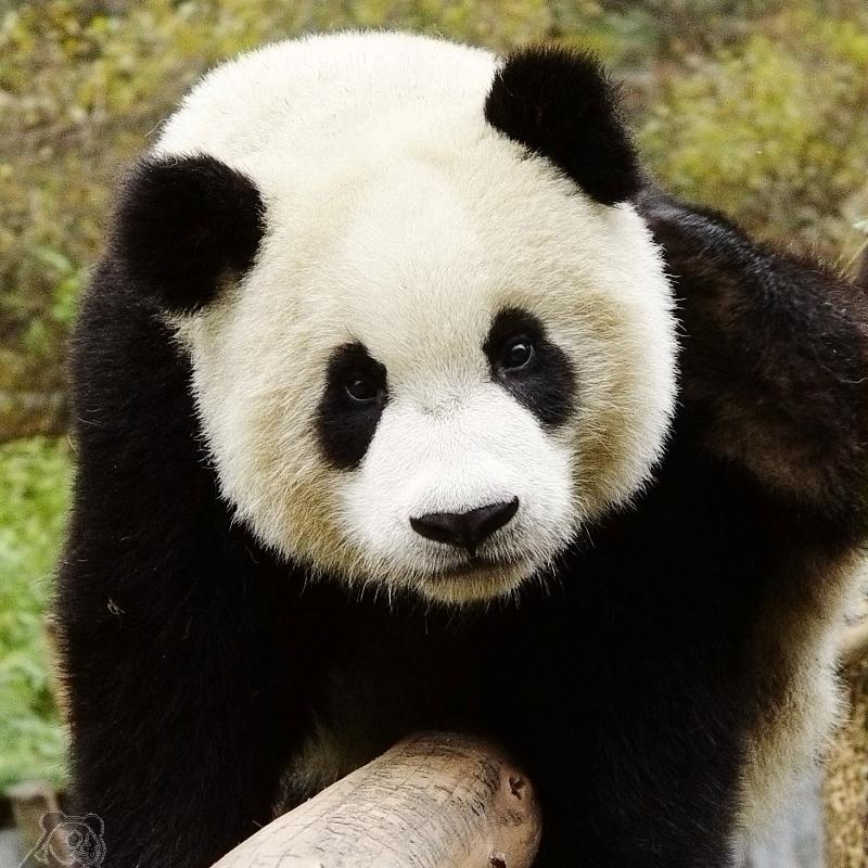 Captive-Bred : Captive+Breeding Captive Breeding Program Pandas International