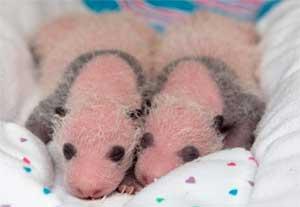 Zoo Atlanta Twins