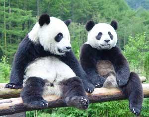 Panda Reserves | Pandas International