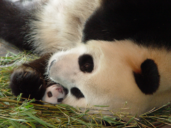 captive breeding in panda bears essay Research article behavior of giant pandas (ailuropoda melanoleuca) in captive conditions: gender differences and enclosure effects.
