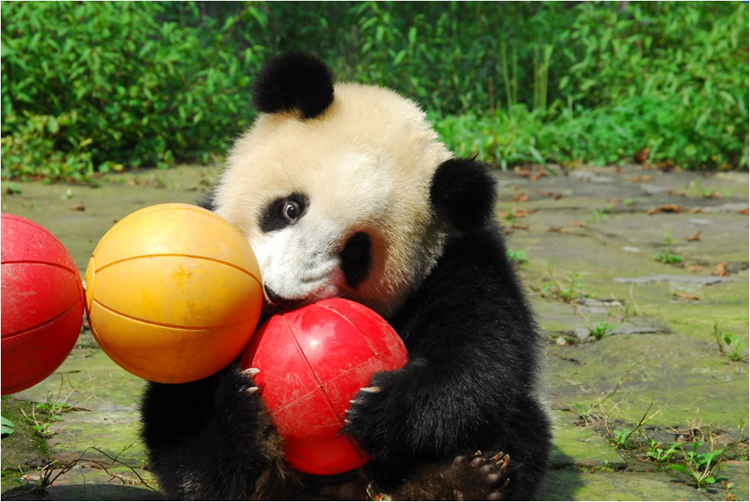 panda essay Giant panda essays - studentshare pandas are also unintentionally injured or killed in traps and snares set for other animals, such as musk deer and black bears.