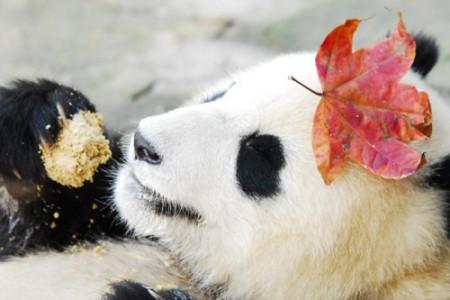 pandafacts