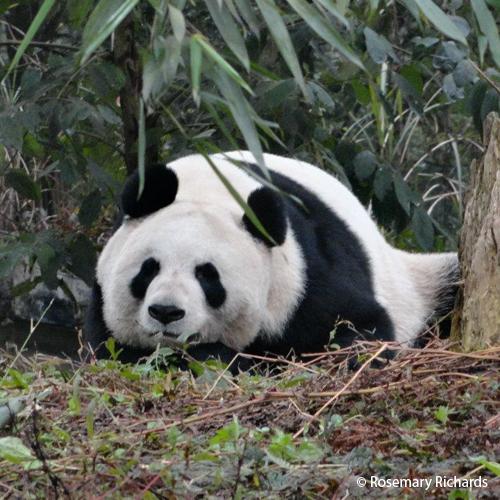 pandafacts2