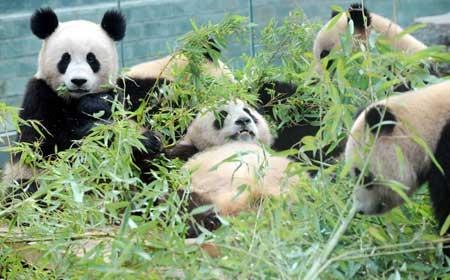 Beijing Pandas