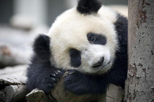 Bifengxia-Panda-breeding--010