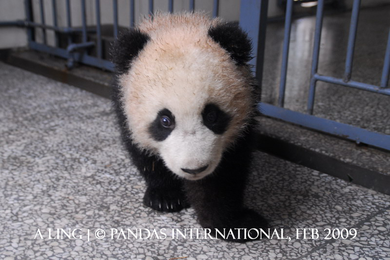 A Ling-Ye Ye's Cub- 2