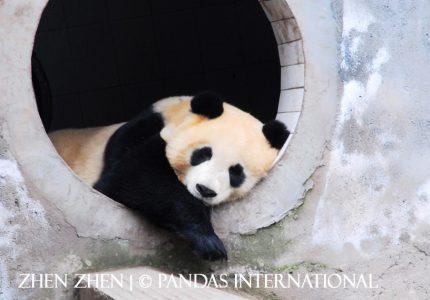 Zhen Zhen (4)