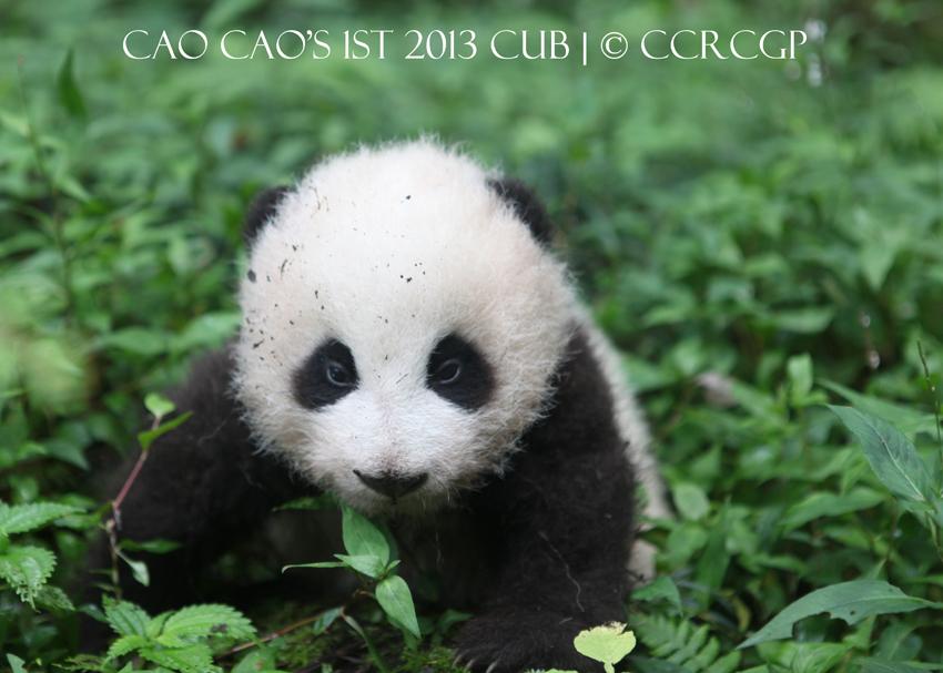 Cao Cao 1st cub 2013 1