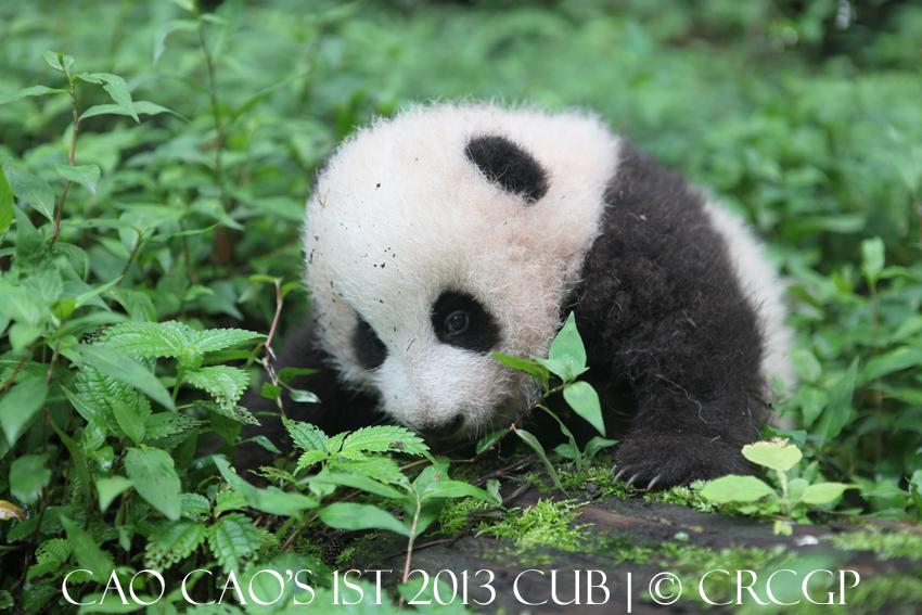 Cao Cao 1st cub 2013 2