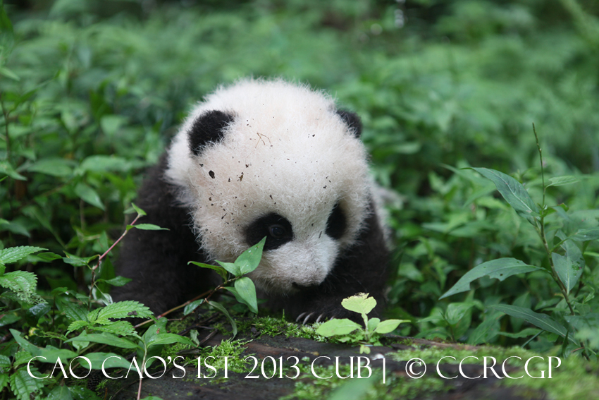 Cao Cao 1st cub 2013 3