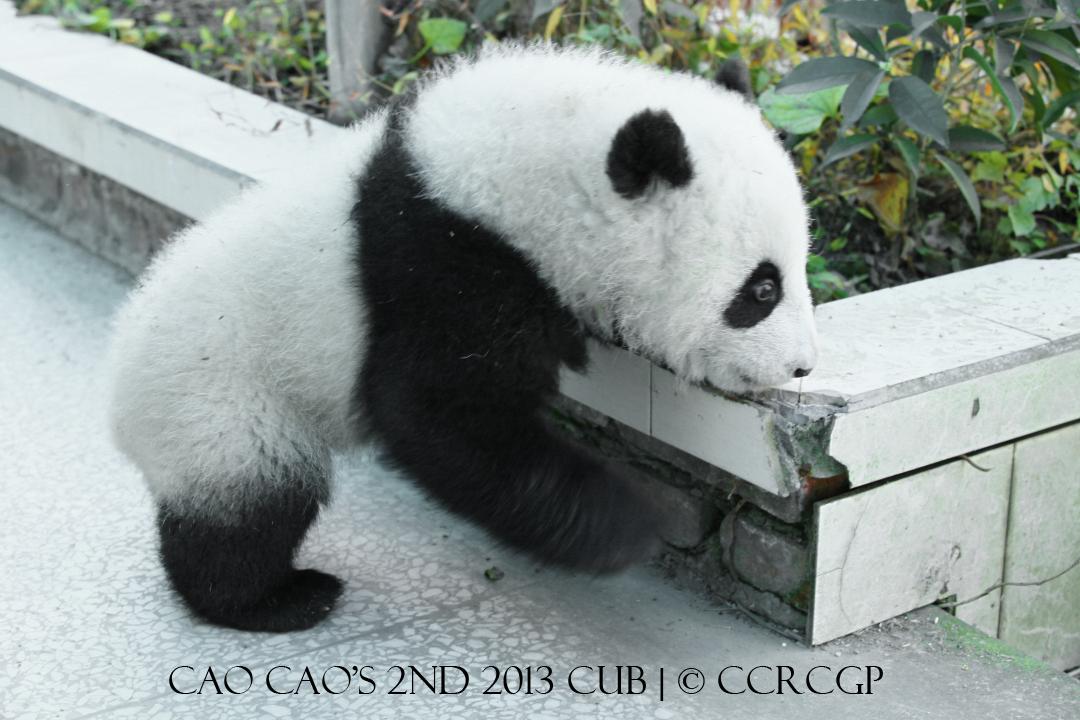 Cao Cao 2nd cub 2013 1