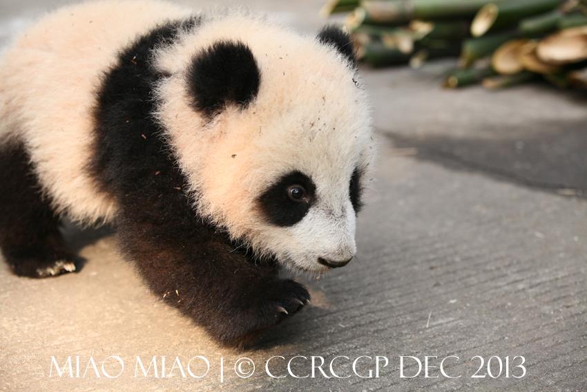Hai Zi 2nd cub 2013 1