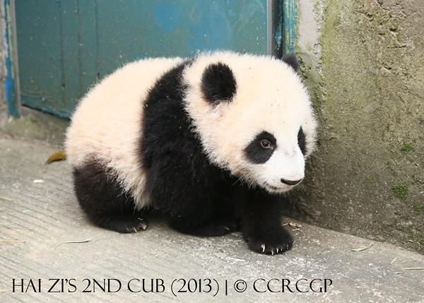 Hai Zi 2nd cub 2013w