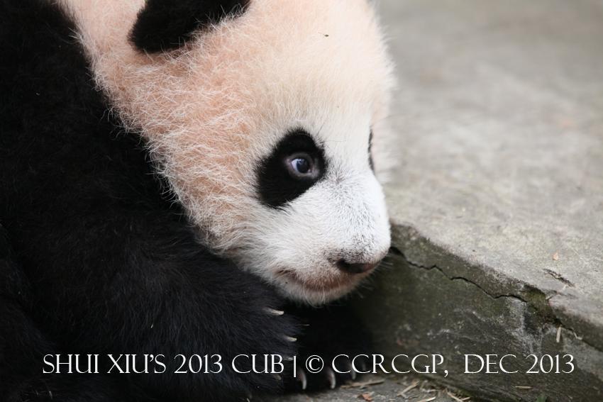 Shui Xiu cub 2013 1