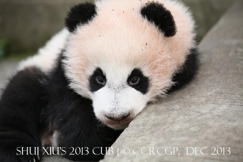 Shui Xiu cub 2013 2