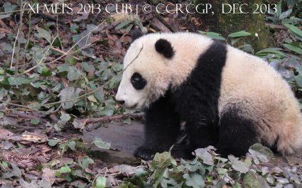 Xi Mei cub 2013 1