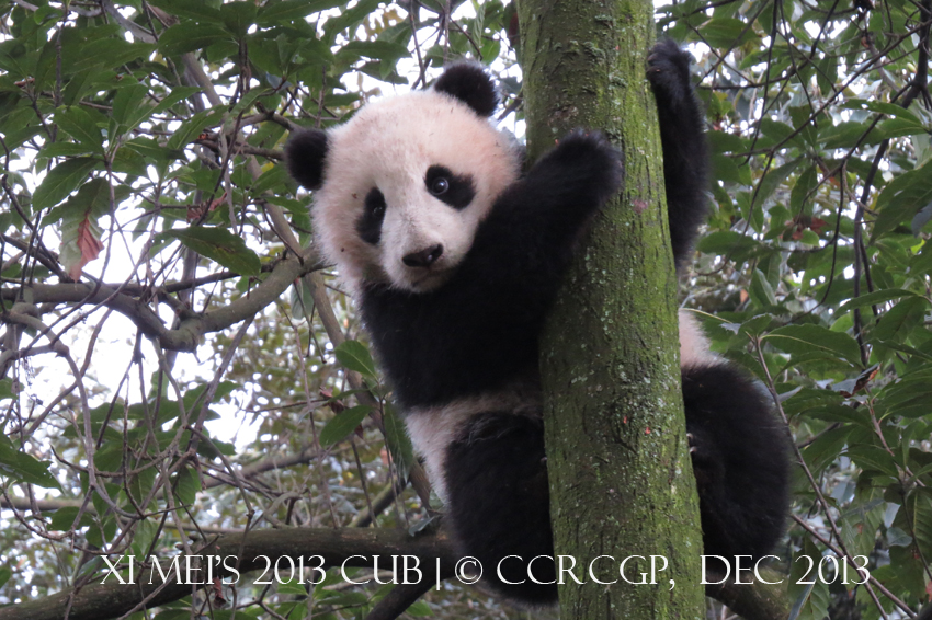 Xi Mei cub 2013 2