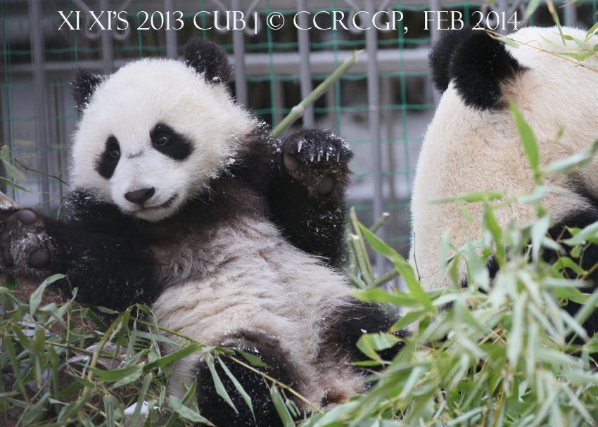 Xi Xi cub 2013 3
