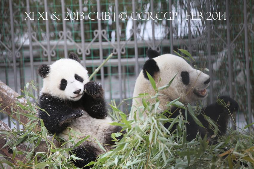 Xi Xi cub 2013