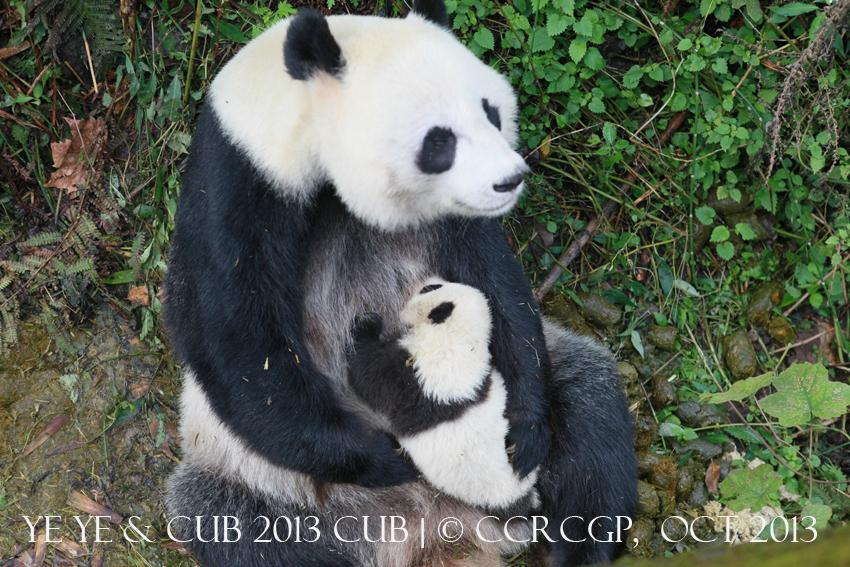 Ye Ye cub 2013 1