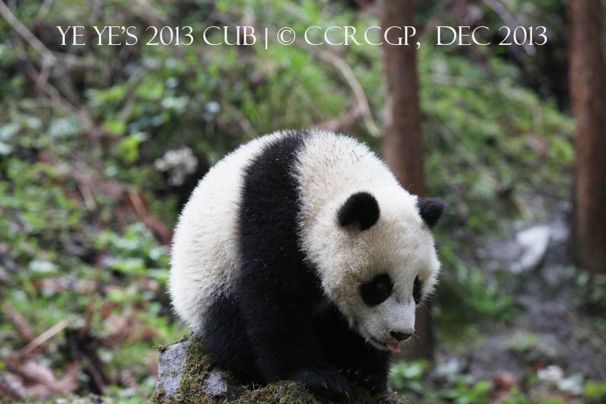 Ye Ye cub 2013
