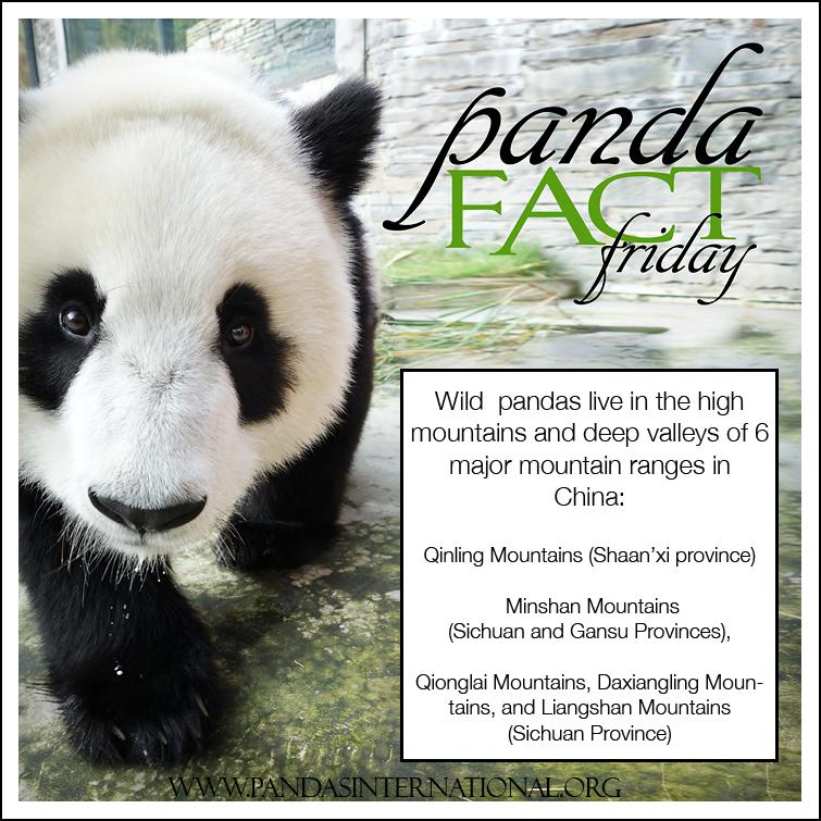 pandafactfriday-101014