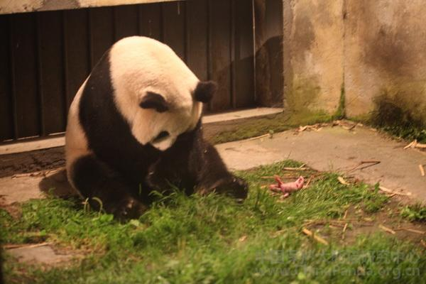 PANDA-Si Xue birth
