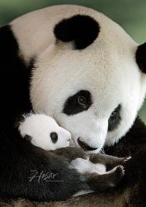 pandas international endangered means we have time extinction is
